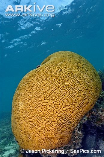Grooved brain coral videos, photos and facts - Diploria labyrinthiformis | ARKive