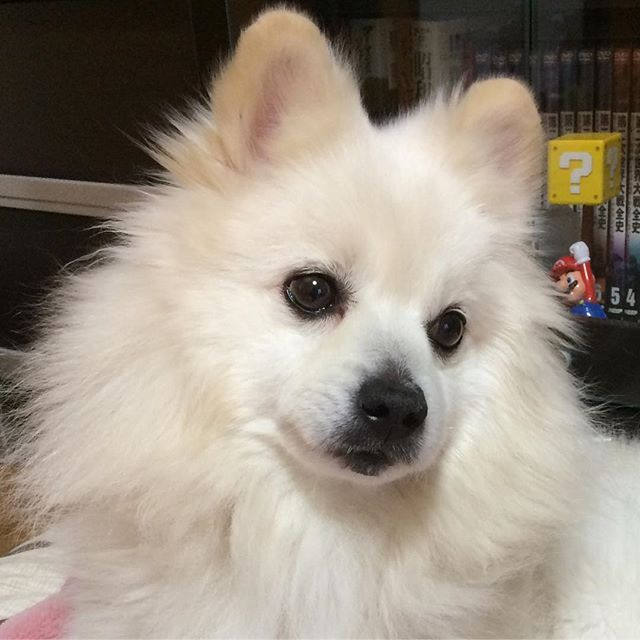 おはよ〜🤗🤗🤗 #pompom #puppylove #pomeranian #pomestgram #PomeranianDog #ポメラニアン #ポメ#白ポメdog#dogs #dogstagram#pomestagram#愛犬#ワンコ#いぬ#犬#犬バカ部 #いぬすたぐらむ#いぬら部 #いぬ部 #いぬのきもち #癒しわんこ #癒し#ふわもこ部 #ふわふわ #もふもふ #甘えん坊犬 #イヌスタグラム #しろ #でかポメ