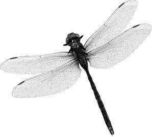 """La Libellule : Animal Totem """"La libellule représente le pouvoir de la lumière et de la transformation, et l'habilité de voir à travers les illusions. Elle apporte la prospérité et l'harmonie. Le totem de la libellule enseigne l'action habile tout en maintenant un sens libre et joyeux d'être.""""  """"La libellule symbolise la duperie des sens...."""