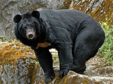The Himalayan black bear (Selenarctos thibetanus laniger) is a rare subspecies of the Asiatic black bear.