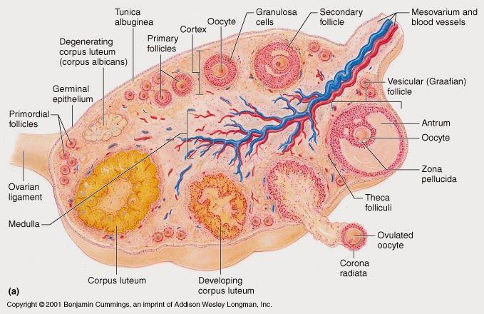 ovarian+follicles+diagram.jpg (679×440)