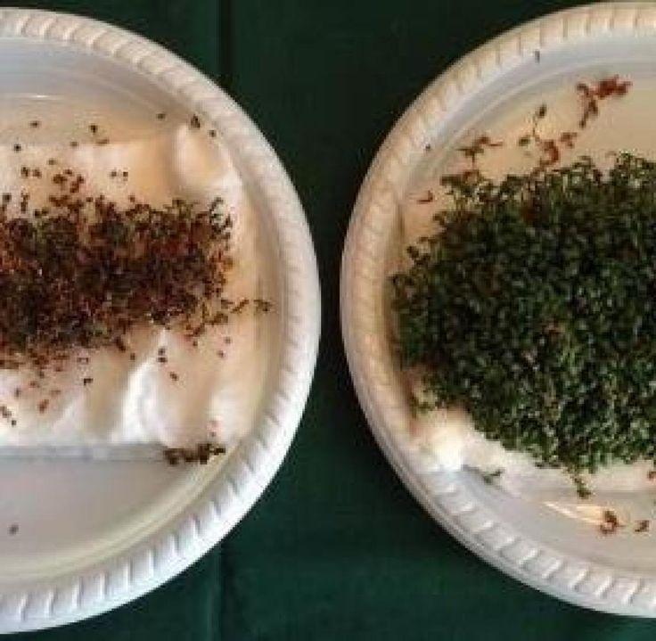 Schülerinnen aus Dänemark experimentierten an Gartenkresse und fanden heraus, dass ein W-Lan-Router schädlich für die Pflanzen war.