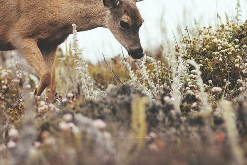 Deer Sniffing Flowers