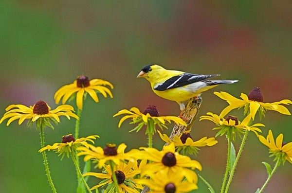 How To Attract Goldfinches With Your Garden How To