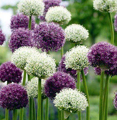 9 best Allium Flowering Onions images on Pinterest Allium, Onion - allium beetstecker aus metall