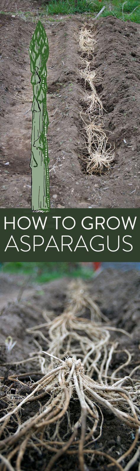 how-to-grow-asparagus-longpin