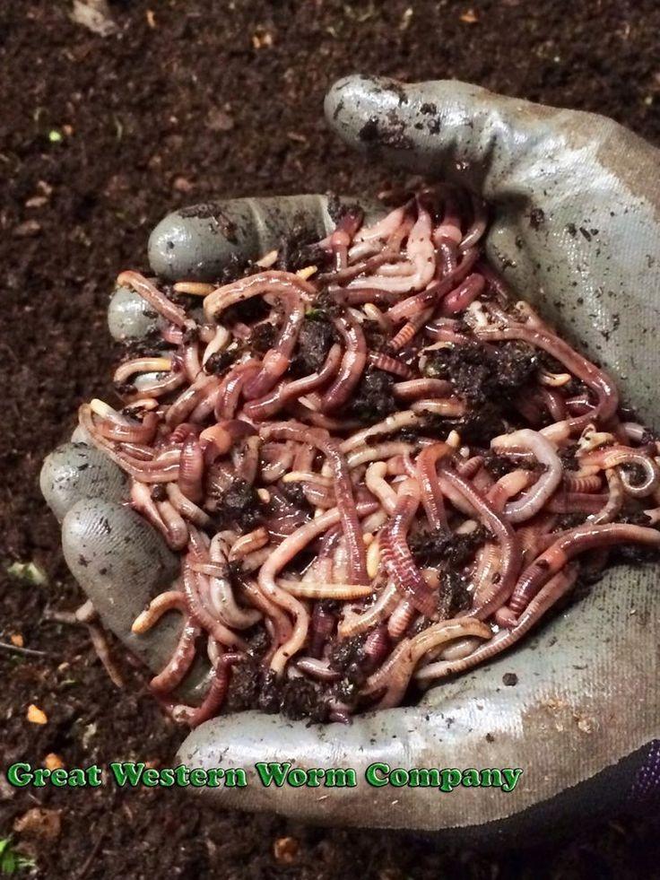 Best 25 night crawlers ideas on pinterest worm farm for Fishing worm farm