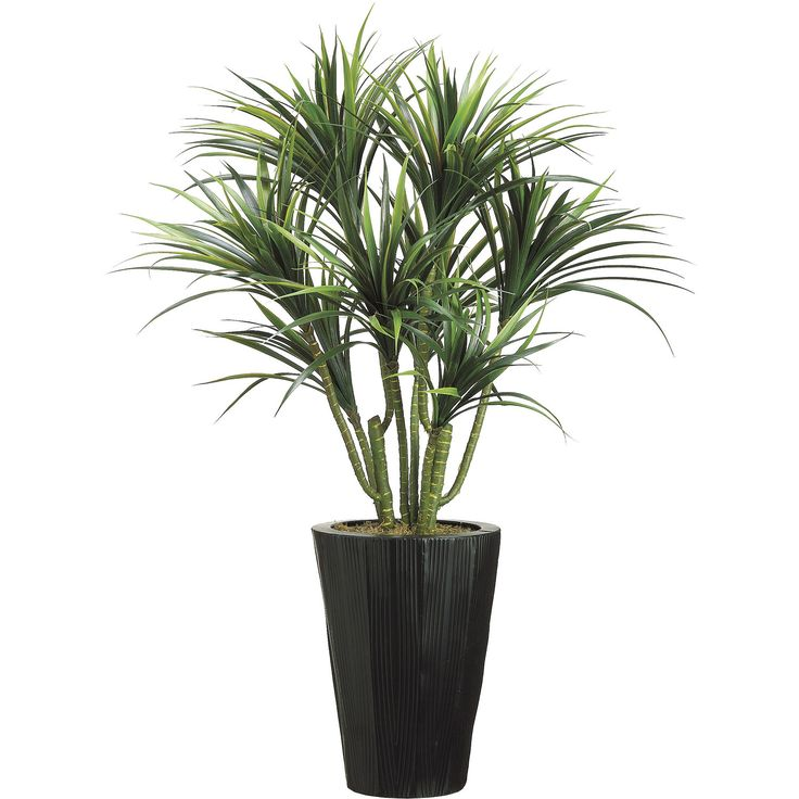 best 25 dracaena plant ideas on pinterest janet craig plant bamboo palm and best whole house. Black Bedroom Furniture Sets. Home Design Ideas