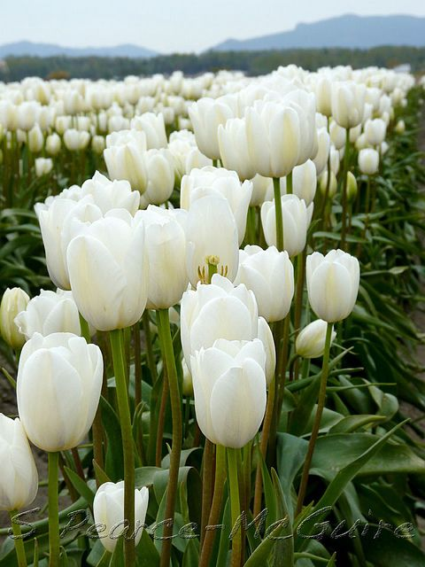 White Tulip Field, Washington