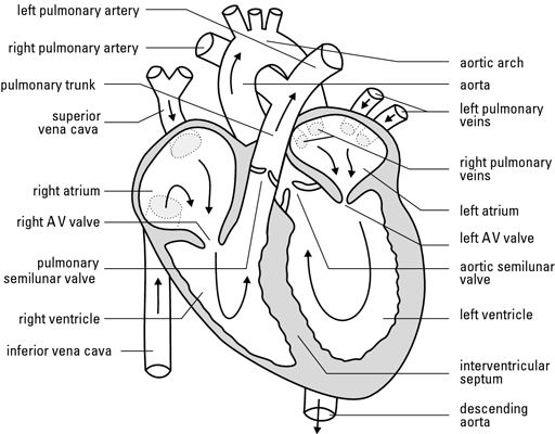 blank heart diagram blood flow
