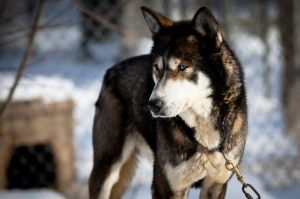 Sled dogs always at risk - Vancouver Humane Society