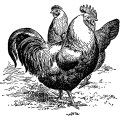 silver gray dorkings, black and white clip art, farm animal image, vintage chicken clipart, vintage rooster illustration