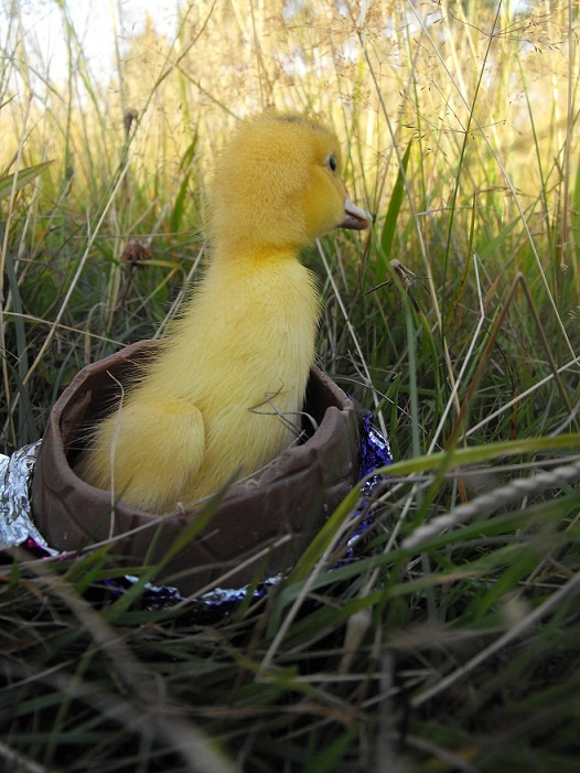 Best Duck Breeds Images On Pinterest Duck Breeds Duck Duck - Backyard poultry information centre australia