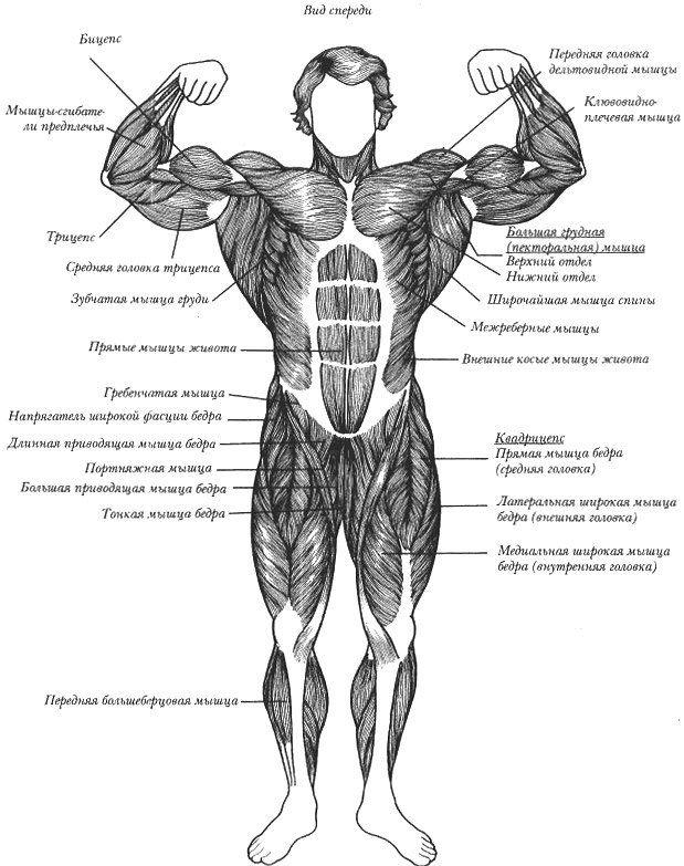 Список мышц с картинками