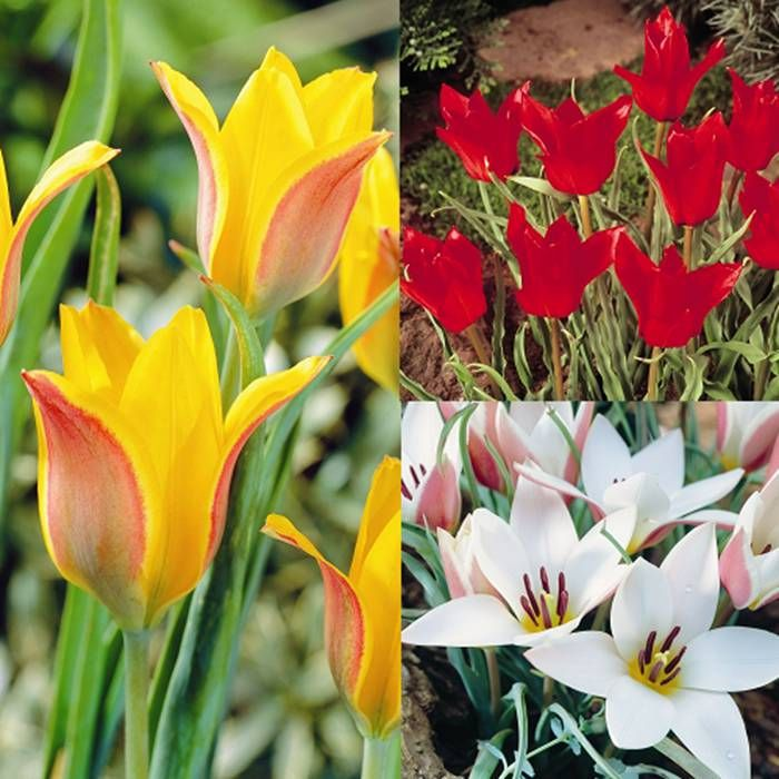 Spring Flowers And Yard Landscaping Ideas 20 Tulip Bed: 20 Best Bulbs Images On Pinterest