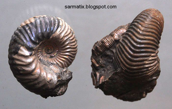 Ammonites in siderite from Łuków, Poland. They come from from classical and now not available Polish locality in Łuków in Eastern Poland (now this place is a nature reserve). They are from Middle Jurassic, dinosaurs in bloom ;)