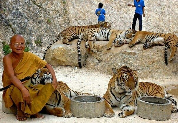 Tigers temple in Thailand.  Thailand's Tiger Temple, two hours drive from Bangkok in the Kanchanaburi province. Since 1999, Monks have taken care of the tigers rescued from poachers, having around 17 fully grown tigers and cubs housed within the temple grounds.