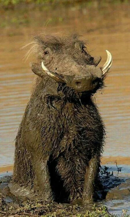 Warthogs bathe in mud to cool down, it is debated whether they do this due to a lack of sweat glands or they simply never evolved functional sweat glands because they could instead wallow in mud.