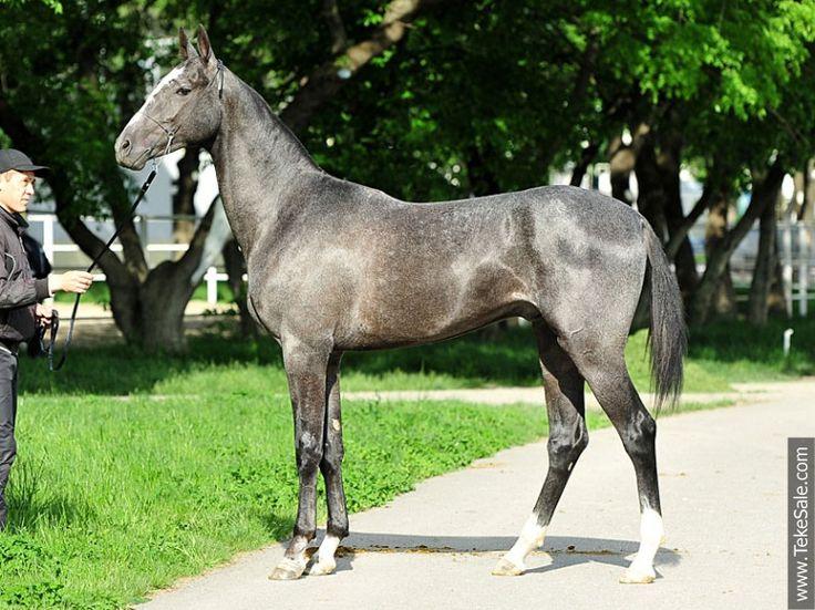 Akhal-teke horses for sale - Ak-Ysup(Murgab - Prohlada)