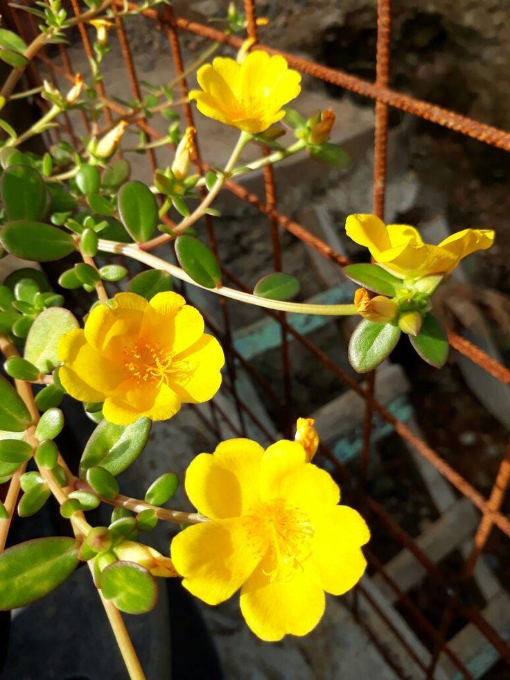Growing Purslane How To Grow Edible Purslane In The Garden: Best 25+ Portulaca Oleracea Ideas On Pinterest