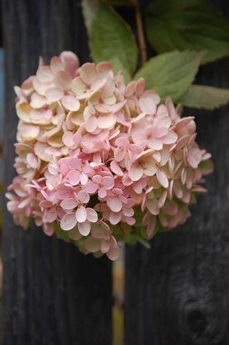 Soft pink Hydrangea...Lovely