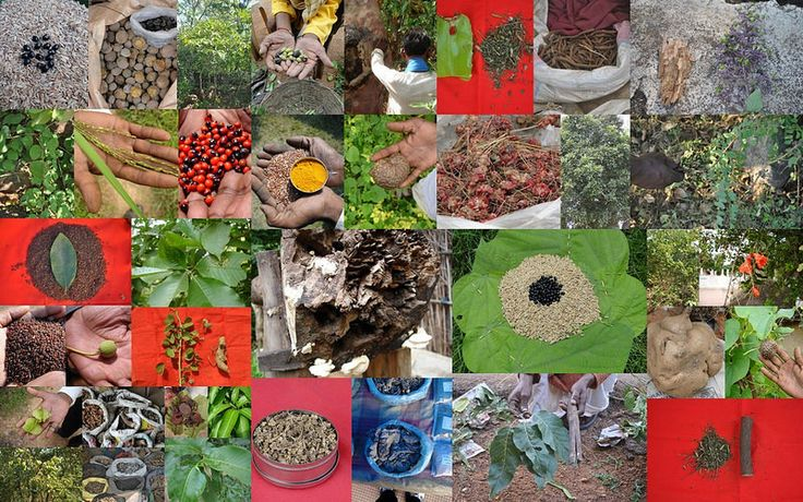 Medicinal Rice based Tribal Medicines for Diabetes Complications and Metabolic Disorders (TH Group-1012) from Pankaj Oudhia's Medicinal Plant Database