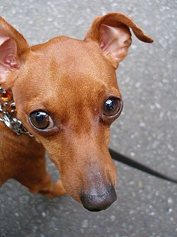Minature Pincher. This breed is much older than the Doberman Pincher.  They are 2 completely different breeds