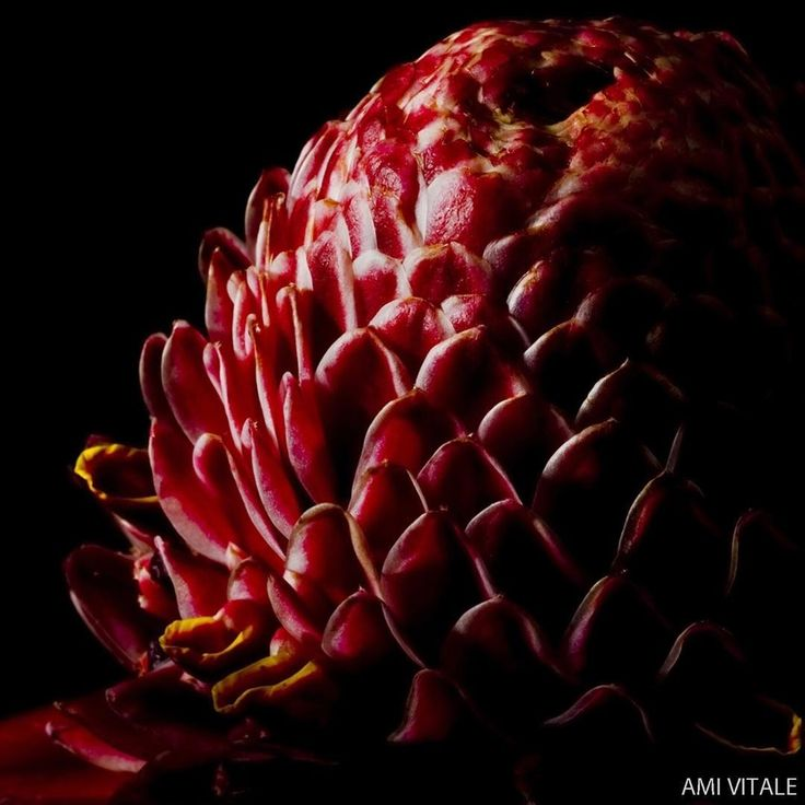 Red Torch Ginger (Etlingera Elatior) flower detail at La Amistad International Park. Tucked away in the southeastern corner of Costa Rica, the fog shrouded cloud forests and cascading rivers of La Amistad International Park remain one of the largest, least-disturbed areas in Central America. The Nature Conservancy has helped 17 community groups in La Amistad come together as a network known as Red Ind'gena de Turismo. Through the network, members receive training and resources to develop…