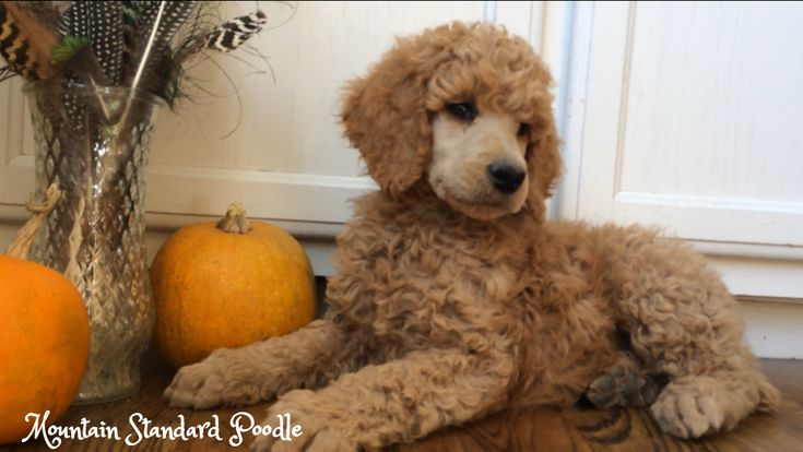 Mountain Standard Poodle-Standard poodle puppies for sale