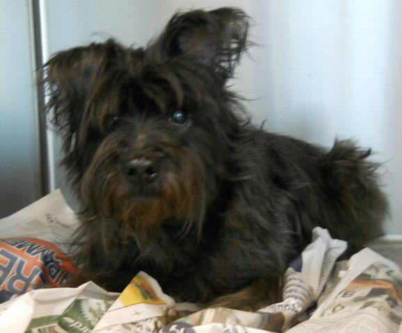 NAME: Orea *SENIOR*  CAGE NO: small dog adoption area  ANIMAL ID: 15594190  BREED: Schnauzer-X  SEX: female  EST. AGE: 10 years  EST. WEIGHT: 20 lbs  HEALTH: has skin issues 3/14 Per Shelter: Appears to be flea allergies  TEMPERAMENT: friendly  ADDITIONAL INFO: owner surrender  INTAKE DATE / AVAILABLE DATE: 3-10 / 3-13