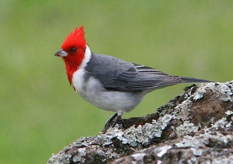 Brazilian Red Cap Cardinal  #nature #birds