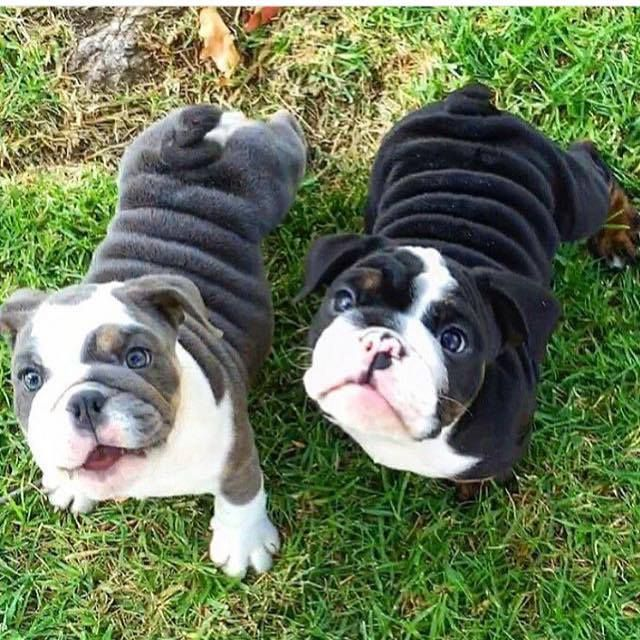 Fat Dog Are The Cutest Animal Farm Pinterest Puppies Dogs And