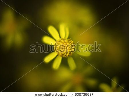 Not a perfect wild yellow flower. Not perfect petals. Blurry soft look.