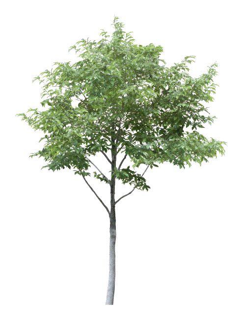 Ver arboles de hoja perenne categor as de rboles de hoja for Ver fotos de arboles de hoja perenne