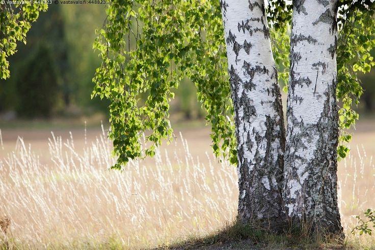 Koivut - koivu Betula puu kesä kesäinen vihreä koivunlehti runko tuohi luonto puu puunrunko lehti kaksi