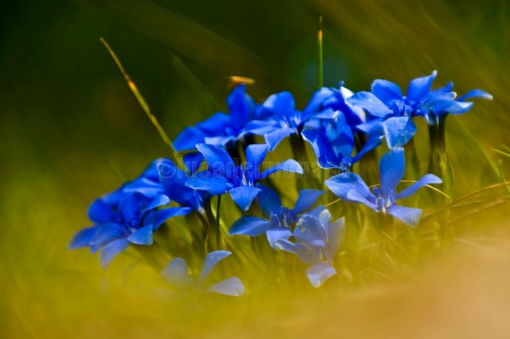 During the spring in Apennines mountains is easy to meet the flowers of #Gentiana verna.