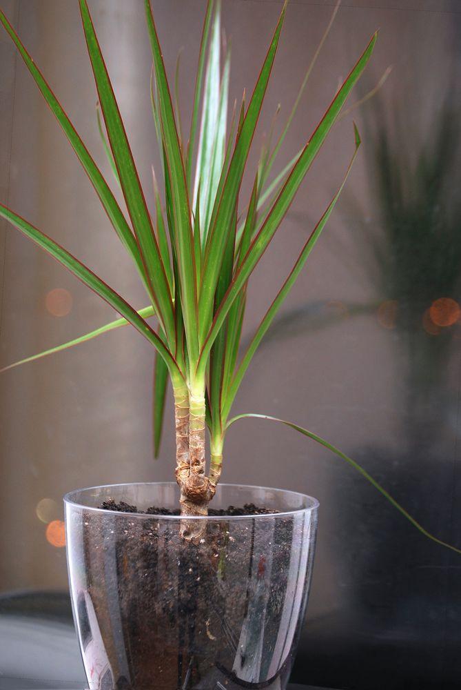 Les 10 meilleures images du tableau plantes d polluantes sur pinterest chambres conception d - Entretien dracaena marginata ...
