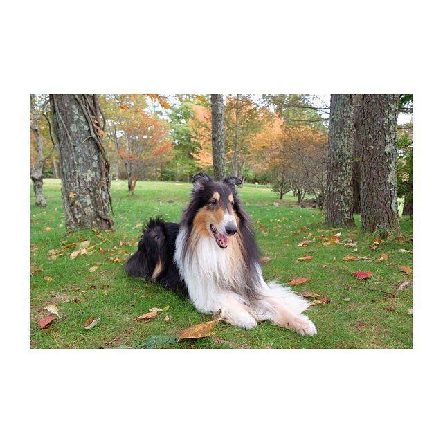 【ru_chris】さんのInstagramをピンしています。 《ろみ太と森さんぽ💗  綺麗な森でお散歩するの最高だった😳💓 #紅葉#森#山#自然#秋#ドライブ #doglover#collie#コリー#ラフコリー#トライ#dog#dogphoto#田舎暮らし#ろみ太💞》