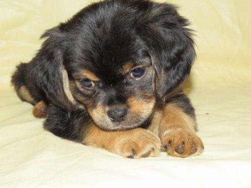 [Dogs] Breed: Rottiebear, Age: Baby, Miniature Rottweiler Puppies - Philadelphia | Dogs