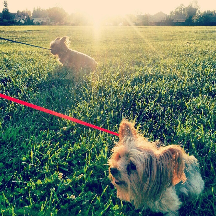 Oso and Daisy.. Just 2 cute yorkies