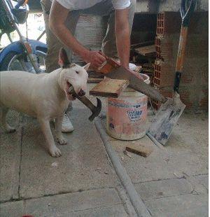 Bull terrier At Work
