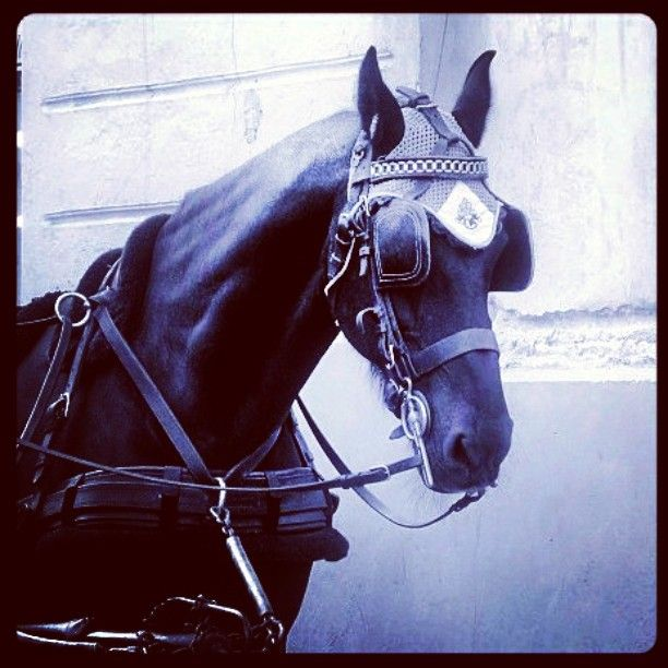 #blackbeauty #uljasmusta #heppa #horse  #Tallinn