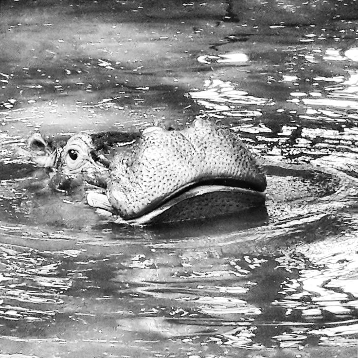 Hippo at The Joburg Zoo. Johannesburg, South Africa. (Photo: N.Martin)