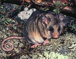 Mountain pygmy possum - 2000 left