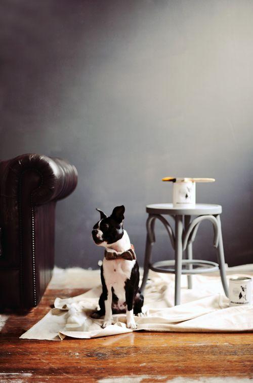 Moody dark walls & a pup. // Jason Grant: Dogs, Bows Ties, Wall Color, Grey Wall, Bowties, Boston Terriers, Jason Grant, Gray Wall, Dark Wall
