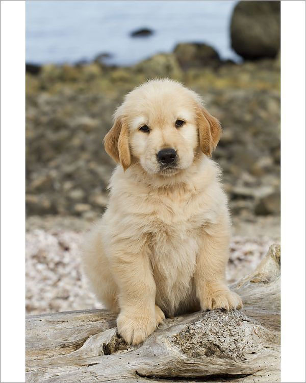 Photograph Golden Retriever Puppy 7 Weeks Sitting On Driftwood