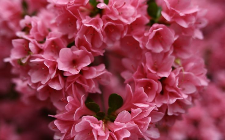 Rhododendron, evergreen azalea, Flowers of the United States, Flora of West Virginia. Hundreds of little pink flowers.  pink, flowers, small, spring, little, plant, background, perfume
