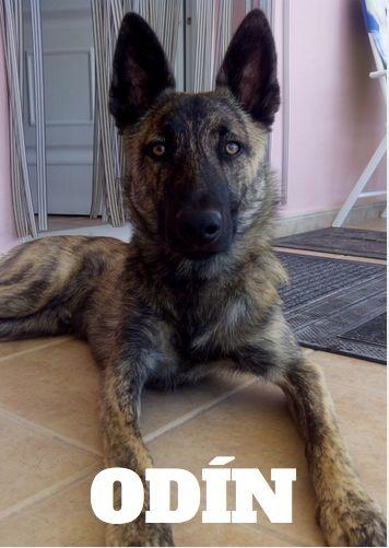 Este es Odí, según su dueña un perro loco, pero tiene cara de protector y gran compañero. Esa mirada profunda nos ha conquistado! <3