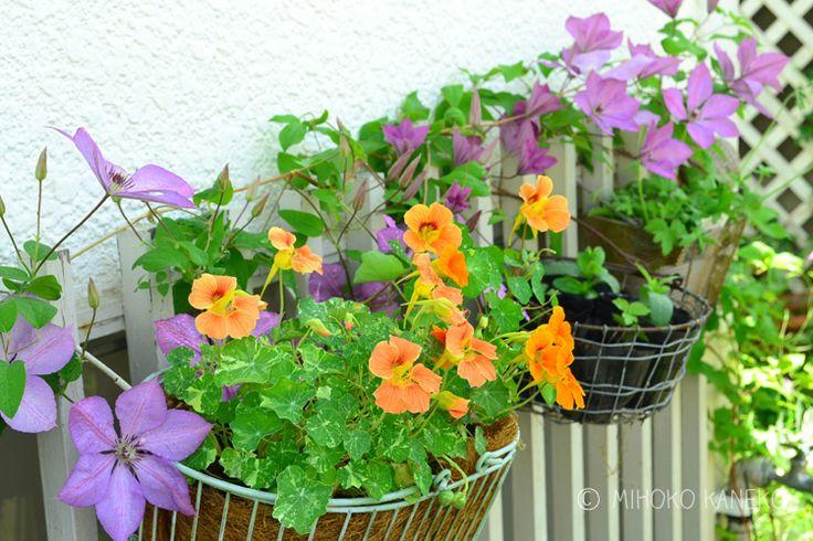 春の草花が終わりなのは寂しいですが、初夏は初夏で素敵な植物がたくさんあります! クレマチス、ブラックベリー、ゲラニウムなどの宿根草・・・。今回はただいま開花中のつる植物を中心にご紹介します。