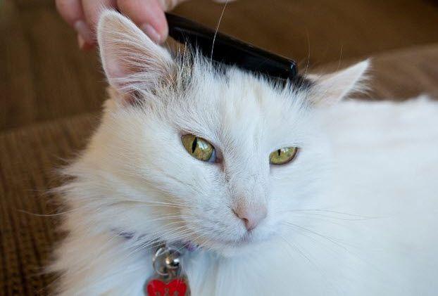 DIY Dry Cat Shampoo - PetDIYs.com